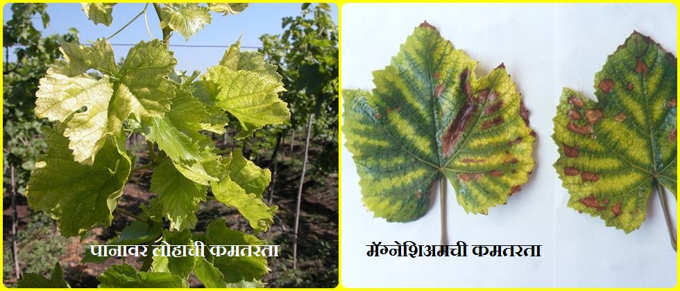 grapes advice, blackening of roots, defoliating of vines