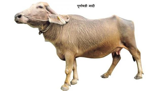 Purnathadi buffalo was offered royal recognition
