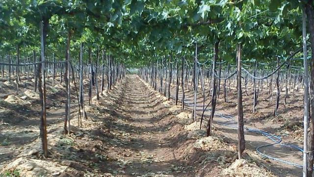Farmers struggle to save vineyards in Sangli district