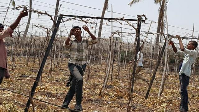 In Sangli district, 50% grape pruning was completed