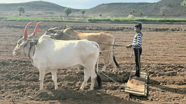 80% sowing of cotton in Marathwada