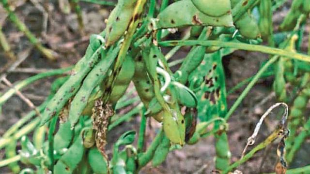 Soybean pods sprout on trees in Hingoli district