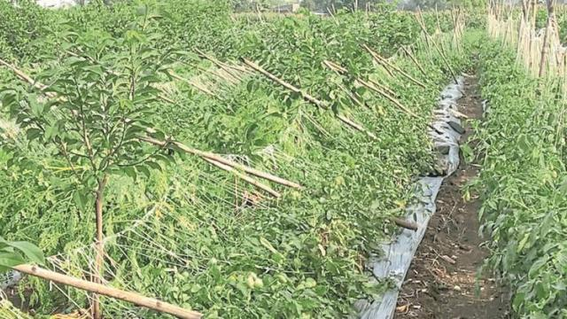 In Nashik district, vegetable crops including kharif are in danger