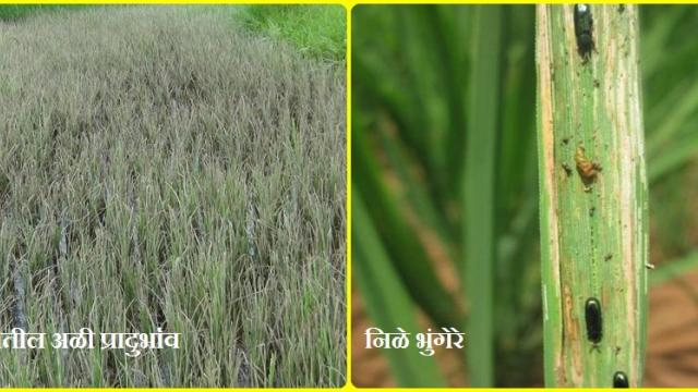 crop Advice (Konkan region)