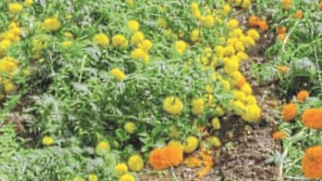 Mud of marigold flowers due to rain in Igatpuri, Sinnar taluka