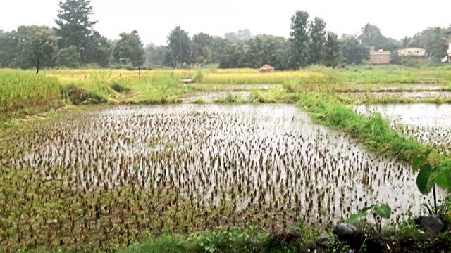 Rains continue to fall in Khandesh