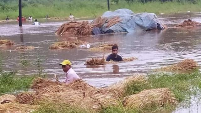 Seven and a half thousand farmers hit rain in Chiplun