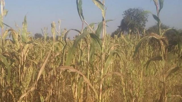 Influence of adhesive on sorghum crop in the district