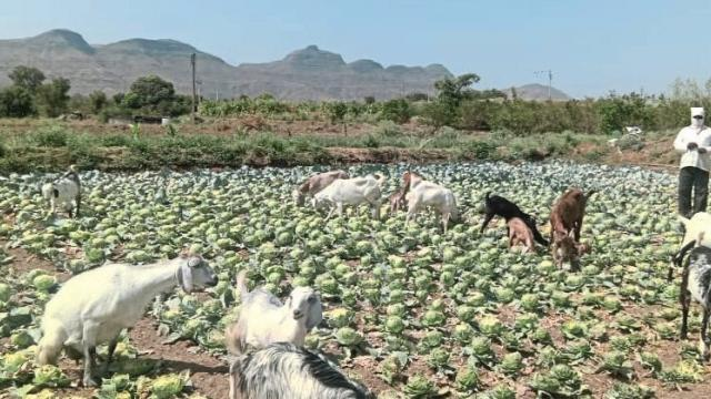 Goats left in cabbage due to non-sale system