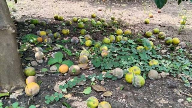Summer management for citrus orchards