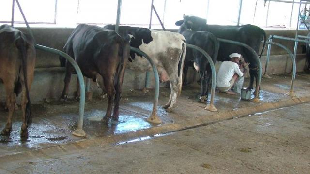 If the cowshed is clean and dry, the health of the animal remains good.