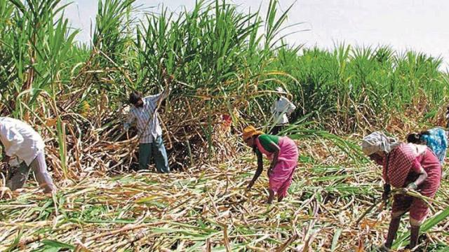 Sugarcane breaks down in sugar mills in Khandesh