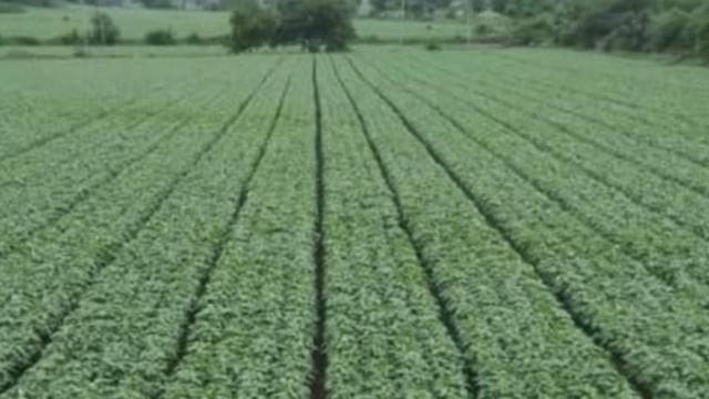 Sowing done by BBF sowing machine