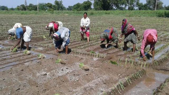 Rabbi onion cultivation on ten thousand hectares in Satara district