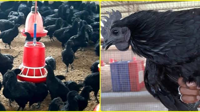 Kadaknath poultry bird farming in open system