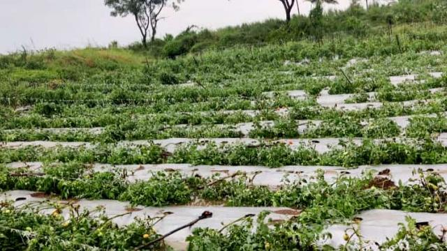 Destroyed vegetable crops in Sangli district