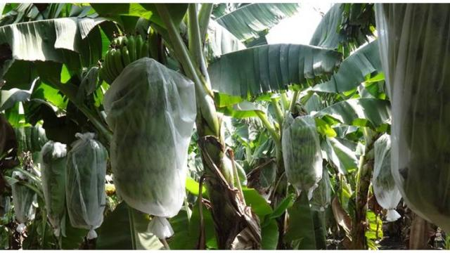 To protect the banana bunches from the sunlight, cover it with a polypropylene bag