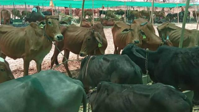 In Maan-Khatav taluka, there is no bill for fodder holder
