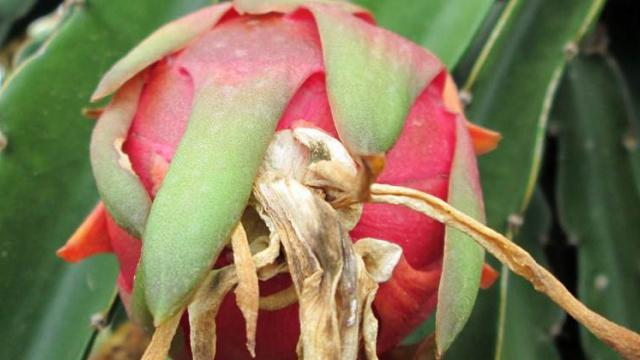 Dragon fruit plantation area increase