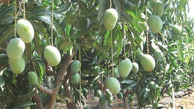 Emphasis on planting low water fruit trees in Nagar districts