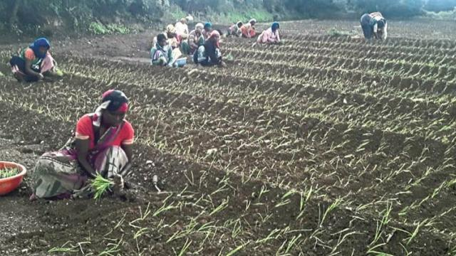Kharif onion is cultivated on 40,000 hectares in Pune division