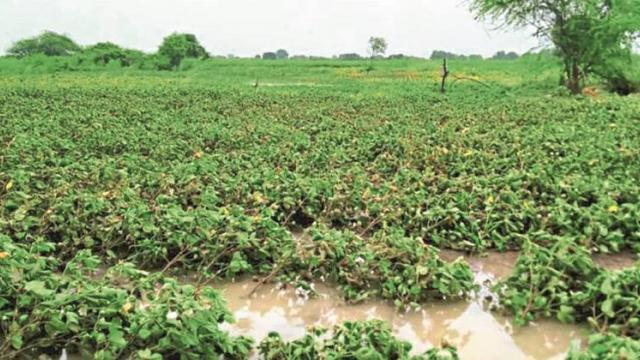 Water on crops due to heavy rains in Parbhani, Hingoli