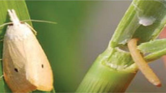 infestation of steam borer in paddy nursery