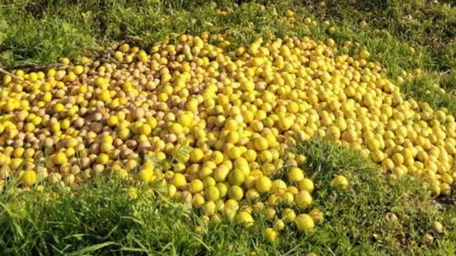 Time to throw lemons at farmers in Jalgaon district