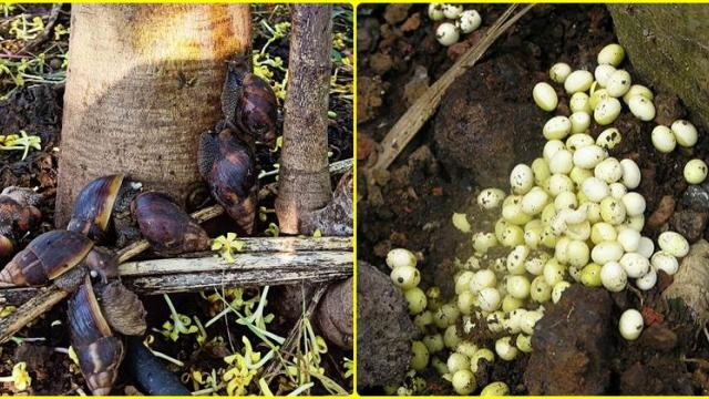 African snails and their eggs