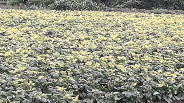 In Solapur district, the green leaves started turning yellow