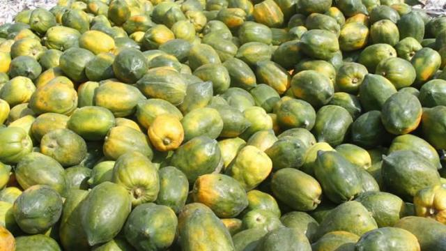 papaya averages Rs. 900 per quintal in Parbhani