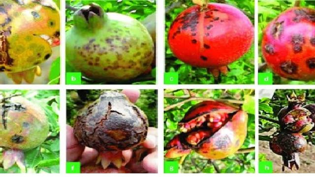 Pomogranate bacterial blight (telkat dag) management