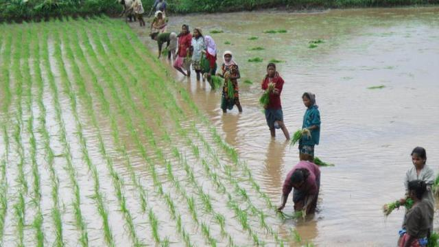 four point paddy cultivation method