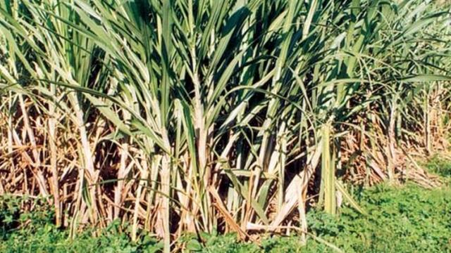 Seven lakh metric tonnes of sugarcane balance in Satara district
