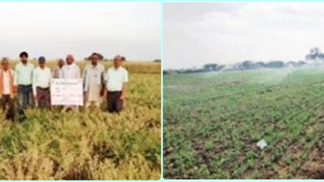 Sprinkler irrigation for pulses gives high yield