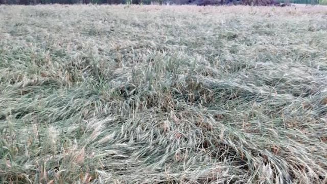 crops damage due to hailstorm