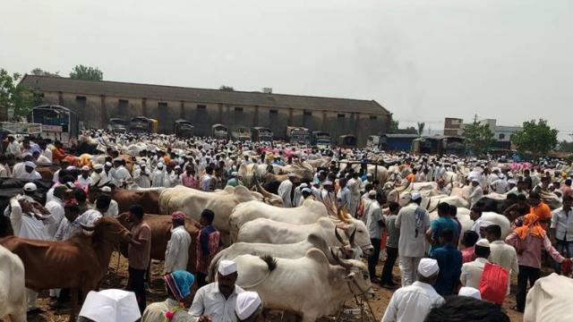Chakan livestock market will start from Saturday