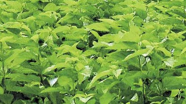Registration for mulberry cultivation on 585 acres in Parbhani district