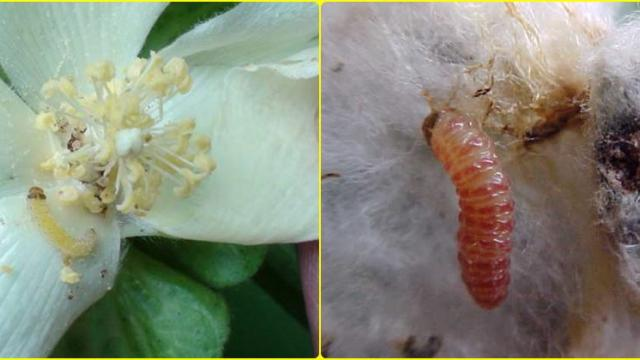 Pink bollworm on cotton