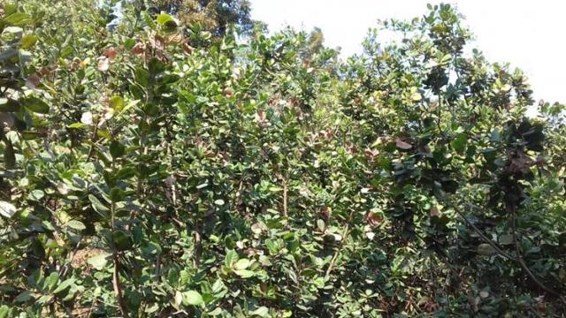 600 mango and cashew trees at Khambale, Padwane were burnt