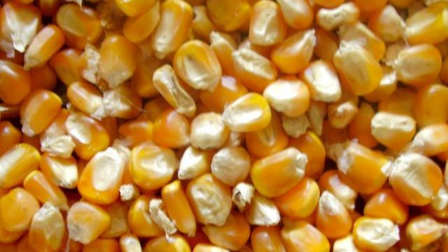 Maize procurement started in Baramati