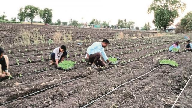 Pre-season tomato cultivation almost started in Nashik district