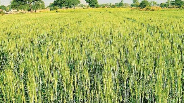 Wheat area in Pune division increased by 36,000 hectares