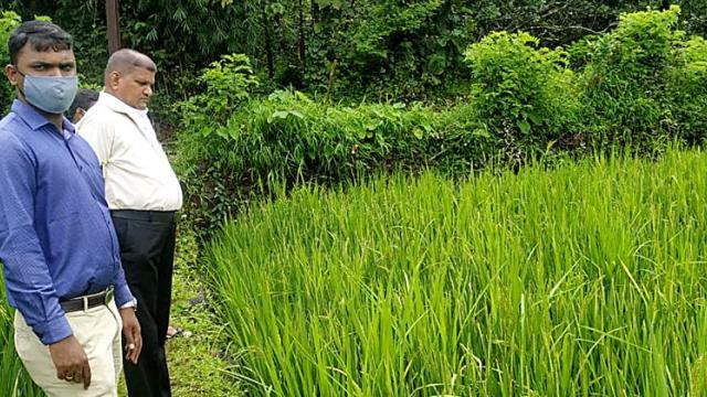 Complaint of inferior rice seeds to the Department of Agriculture