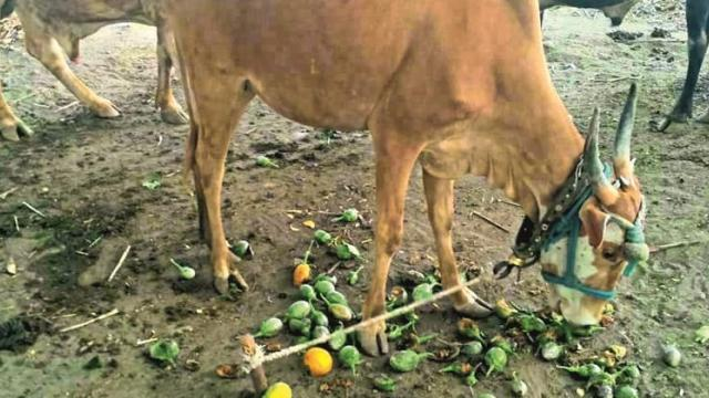 Time to drop the vegetable cattle due to market restrictions