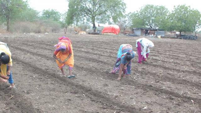 Possibility of cotton cultivation on 4.5 lakh hectares in Yavatmal