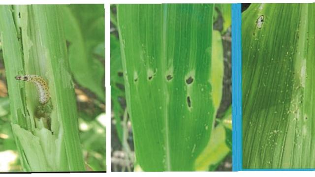 stem borer in sorghum