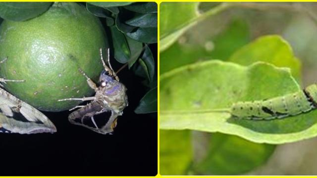Effects of ban on insecticides on Citrus crop