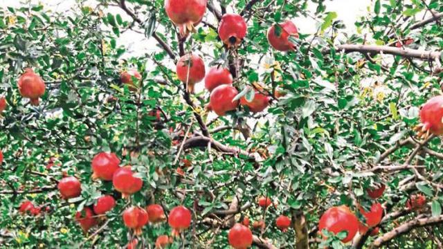 Pomegranate, mango for insurance Deadline till 31st December: Deore