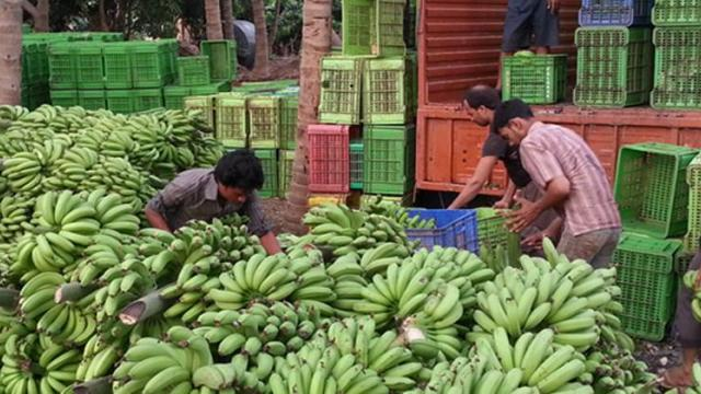 Accelerate Kandebagh banana harvesting in Khandesh
